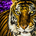 Purple And Gold Tiger by Lisa Smith