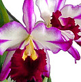 Purple And White Cattleyas Against White Space by Elaine Plesser