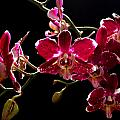 Purple And White Orchid by David Hohmann
