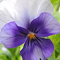 Purple And White Pansy by Brenda Parent