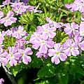 Purple And White Phlox by Cynthia Woods