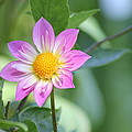 Purple And Yellow Dahlia by John Will