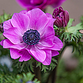 Purple Anemone. Flowers Of Holland by Jenny Rainbow