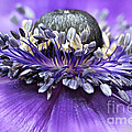 Purple Anemone by Onelia PGPhotography