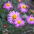 Purple Asters by Lena Auxier