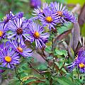 Purple Asters by Optical Playground By MP Ray
