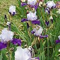 Purple Bearded Iris by Iris Prints