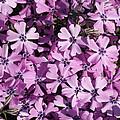 Purple Beauty Phlox by Carol Groenen