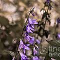 Purple Bells by M Dale