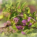 Purple Berries by Yumi Johnson