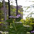 Purple Blossoms Lacecap Hydrangeas by Coertje Feil