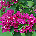 Purple Bougainvillea by Judith Russell-Tooth