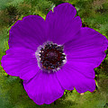 Purple Calanit Magen by Bruce Nutting