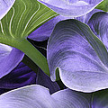 Purple Calla Lily Bush by Richard J Thompson