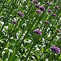 Purple Caps by Kirt Tisdale