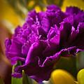 Purple Carnation by Ronda Broatch