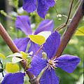Purple Clematis Clinging On A Fence by Ingela Christina Rahm