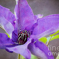 Purple Clematis Close Up by Peggy Franz