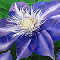 Purple Clematis by Laura Wilson