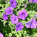 Petunias Purple Club by Diane Palmer