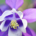 Purple Columbine by Brittany Horton