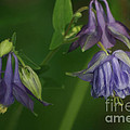 Purple Columbine by Living Color Photography Lorraine Lynch