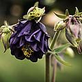 Purple Columbine by Mary Machare