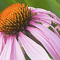 Purple Cone Flower Echinacea by Keith Webber Jr