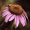 Purple Cone Flower II by Dale Kincaid
