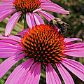 Purple Cone Flower With Bee by Kathy DesJardins