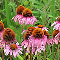 Purple Cone Flowers by Eric Noa