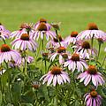Purple Cone Flowers by Lynn Hansen