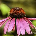 Purple Coneflower - Single by Mary Carol Story
