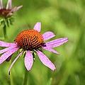 Purple Coneflower 8732 by Bonfire Photography