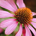 Purple Coneflower by Donna Walsh