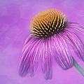 Purple Coneflower - Echinacea Purpura by Nikolyn McDonald