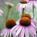 Purple Coneflower by Juli Scalzi