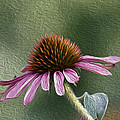 Purple Coneflower by Nathan Harker