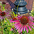 Purple Coneflowers By Former Railroad Depot In Pipestone-minnesota by Ruth Hager