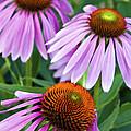 Purple Coneflowers - D007649a by Daniel Dempster