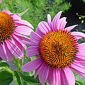 Purple Coneflowers by Suzanne Gaff