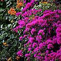 Purple Contrast by Douglas Barnard