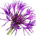 Purple Cornflower by Jo Ann Snover