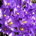 Purple Crocus Spring Welcome by Barbara Griffin