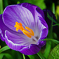 Purple Crocus by Susie Peek