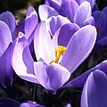 Purple Crocuses  by Nicki Bennett