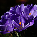 Purple Crocuses On A Spring Day by TouTouke A Y