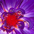 Purple Dahlia by Photos By  Cassandra