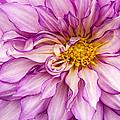 Purple Dahlia by Jean Noren