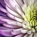 Purple Dahlia by Kenny Glotfelty